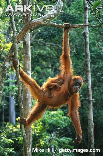 Borenan Orangutan