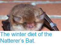 http://sciencythoughts.blogspot.co.uk/2014/06/the-winter-diet-of-natterers-bat.html