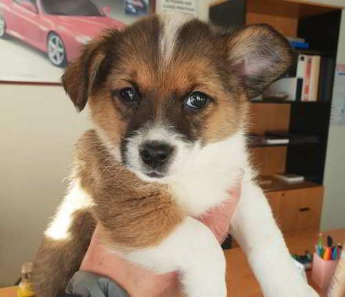 cachorro tamaño pequeño mediano