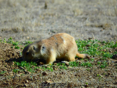 prairie dog, road trip, west