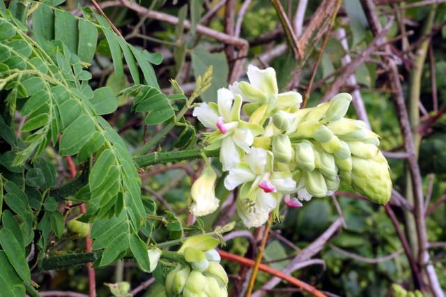 Hoa Vuốt Hùm - Caesalpinia minax - Nguyên liệu làm thuốc Chữa Tê Thấp và Đau Nhức