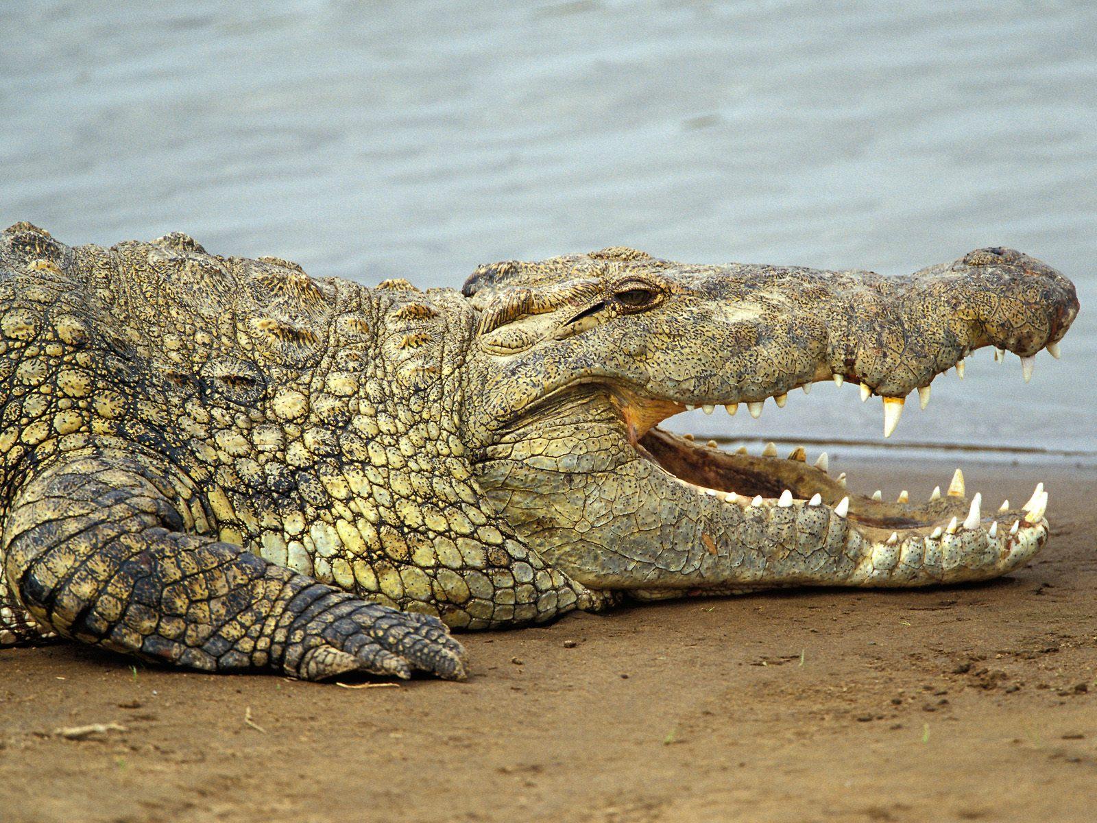 egyptian plover nile crocodile symbiotic relationship