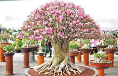 Cara Menanam Bunga Adenium