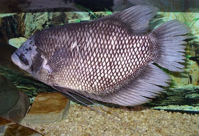 Peternakan, Ternak Ikan, Budidaya ikan gurame, Hama dan penyakit pada budidaya ikan gurame, penyebab kegagalan budidaya ikan gurame, cara pengobatan ikan gurami terkena penyakit,
