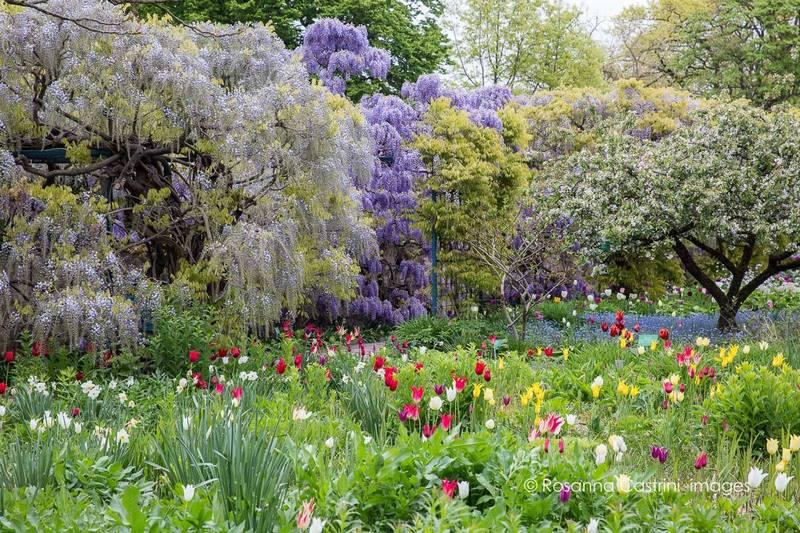 Wisteria floribunda 'Macrobotrys', Wisteria sinensis, tulipanes en Hermannshof
