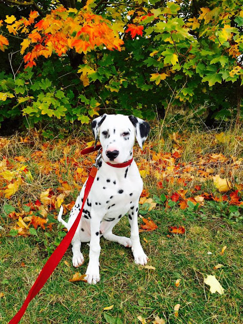 Dalmatian Puppy in Autumn