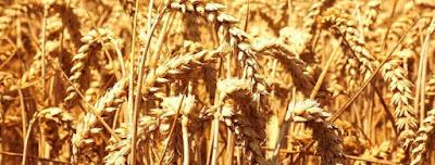 prueba del trigo para saber si estas embarazada