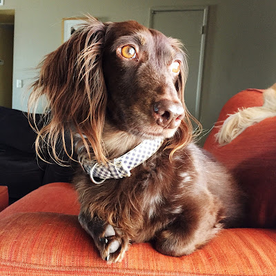Bosco the Dachshund keeps watch at the window in his favorite chair