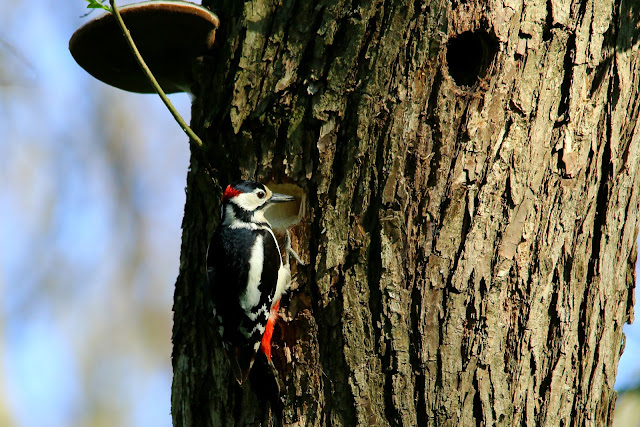 Great spotted woodpecker, dendrocopus major, male