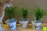 wenig: Katzengras - Cyperus alternifolius - 3 Pflanzen - zur Verdauungsunterstützung von Katzen