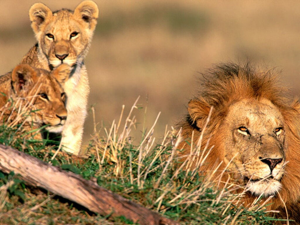Beautiful Animals Safaris: Amazing Lions: Big Cats Africa's Dangerous ...