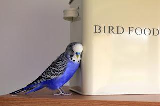 BIRD FOODの箱に耳を寄せる青いセキセイインコ
