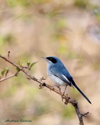 Tacuarita azul Polioptila dumicola