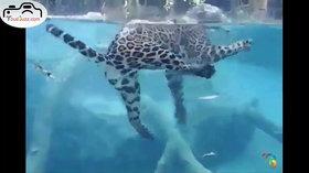 Un jaguar nage parfaitement sous l'eau
