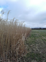 This is a field of miscanthus -- a tall grass used by BECCS power stations. (Credit: Anna Harper) Click to Enlarge.