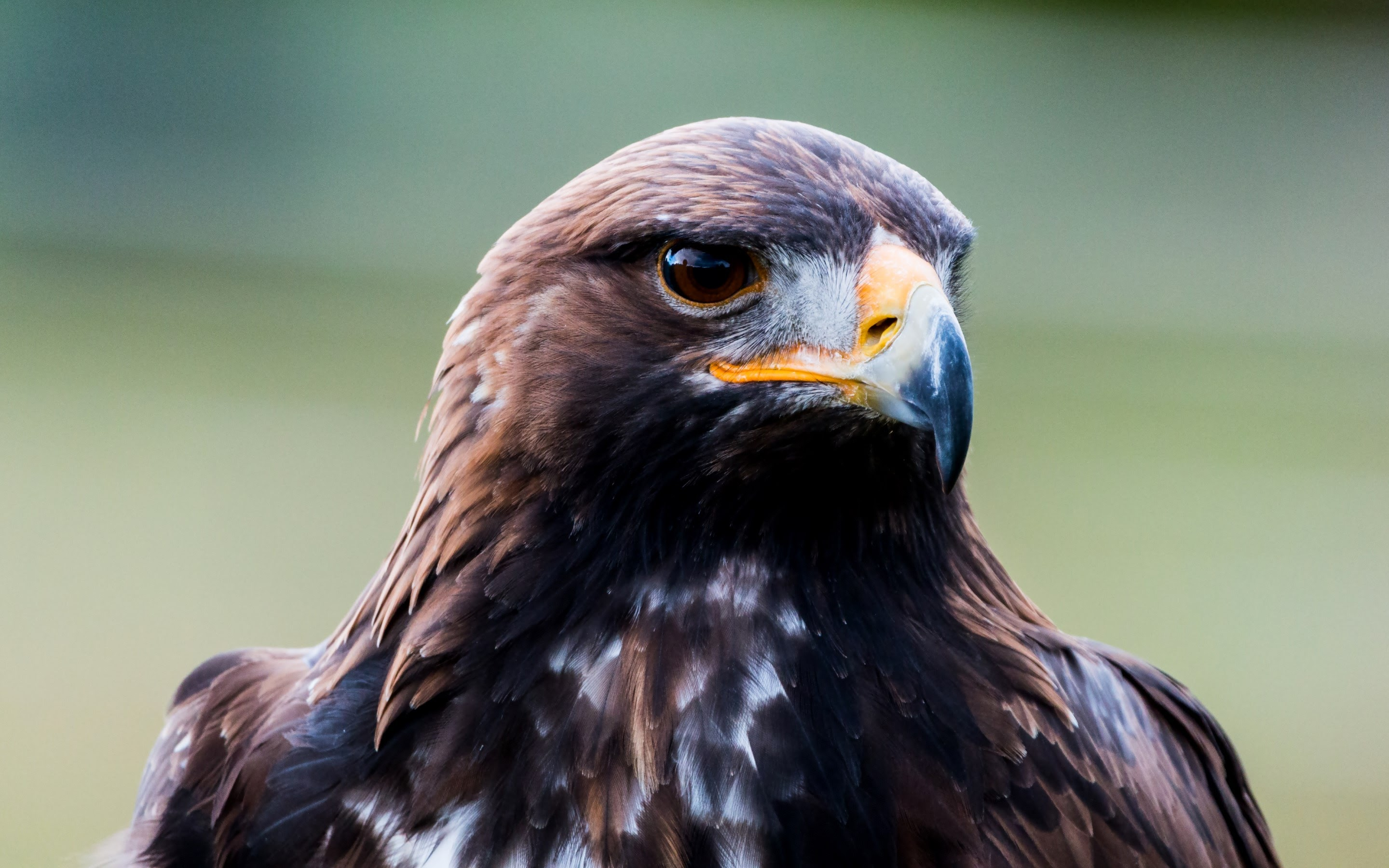 golden eagle Although segments of the golden eagle population in the western united states  have been extensively studied, relatively little is known about golden eagles.