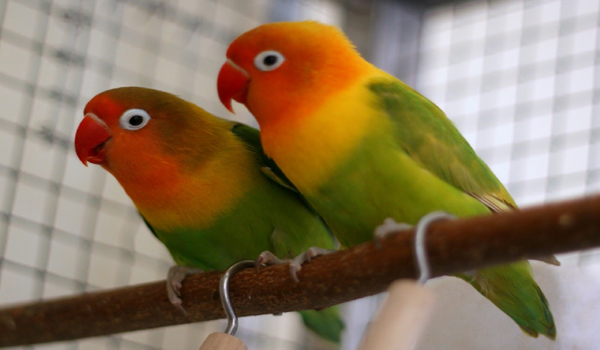 gabah untuk lovebird