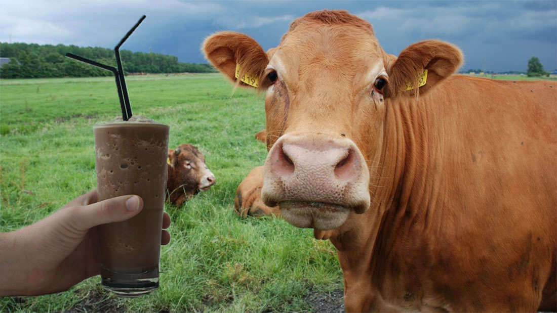 Countless Americans Believe That Brown Cows Produce Chocolate Milk