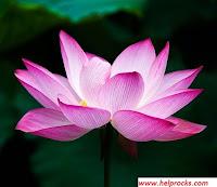 Lotus लोटस