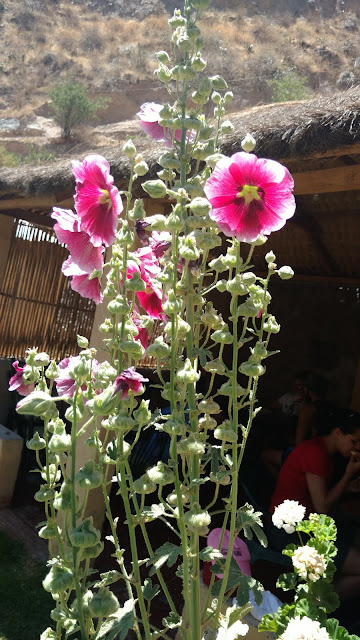 flowers grown at a village at the canyon's bottom