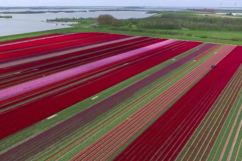 Gran extensión de tulipanes en Holanda