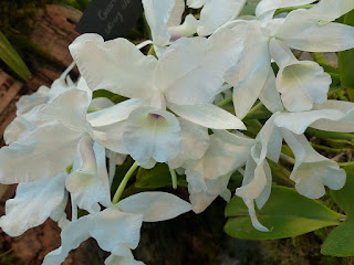 Guarianthe skinneri var. alba - Cattleya skinneri var. alba