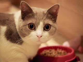 supaya kucing mau memakan nasi