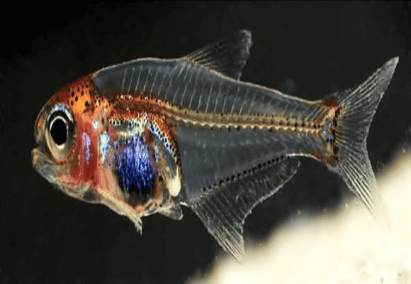 Noctivaga-Cyanogaster