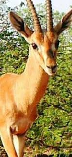 पंजाब का राजकीय पशु क्या है | Punjab Ka Rajkiya Pashu