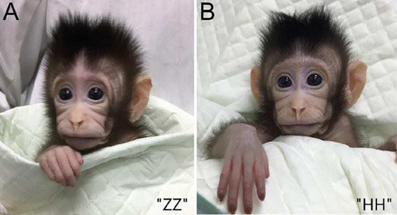 Клонирование обезьян
