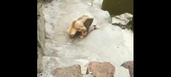 Video: Polar bear exhausted and covered in own filth drags himself across zoo enclosure