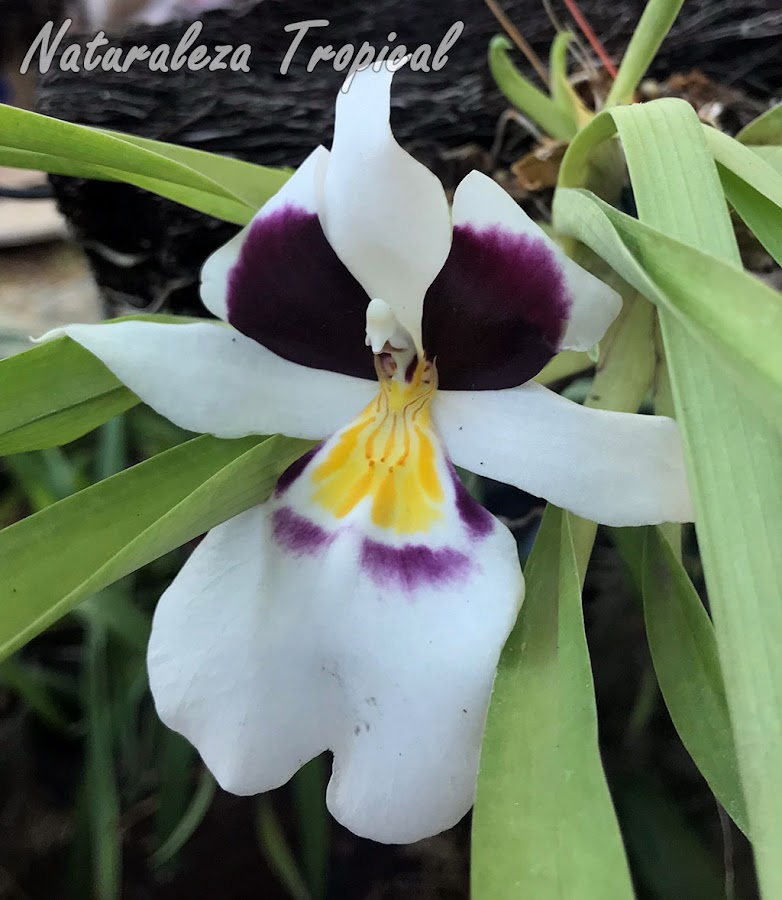 Flor de la orquídea Miltoniopsis roezlii
