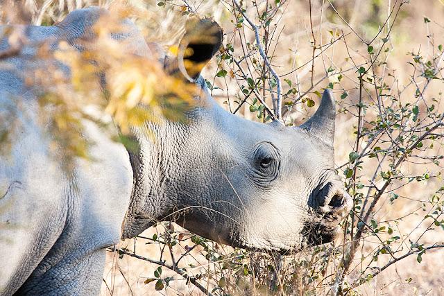 rinoceronte bianco  kruger safari sud africa cucciolo