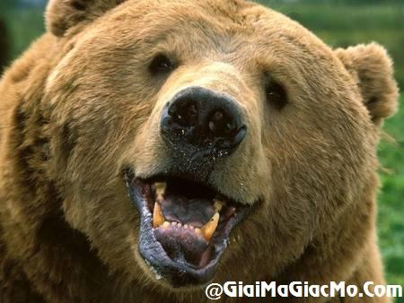 Giải mã giấc mơ thấy Con Gấu & ngủ nằm mơ thấy Gấu