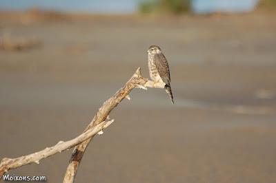 Esmerla (Falco columbarius) al Delta de l'Ebre