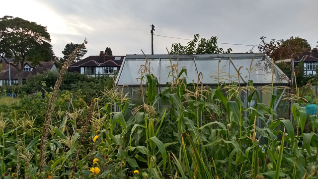 Sweetcorn on the allotment