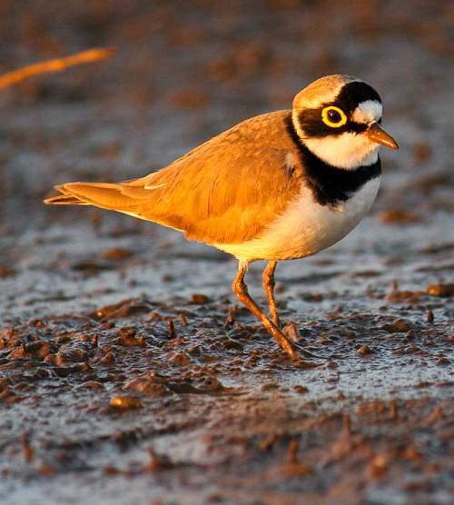 Birds of India - Photo of Little ringed plover - Charadrius dubius