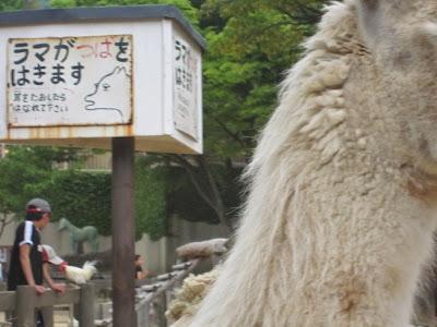 神戸市立王子動物園 ラマ