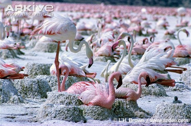 interactions between flamingos Lesser flamingo