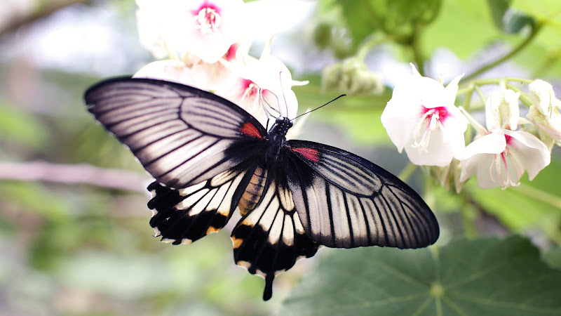Black Butterfly and White Flowers