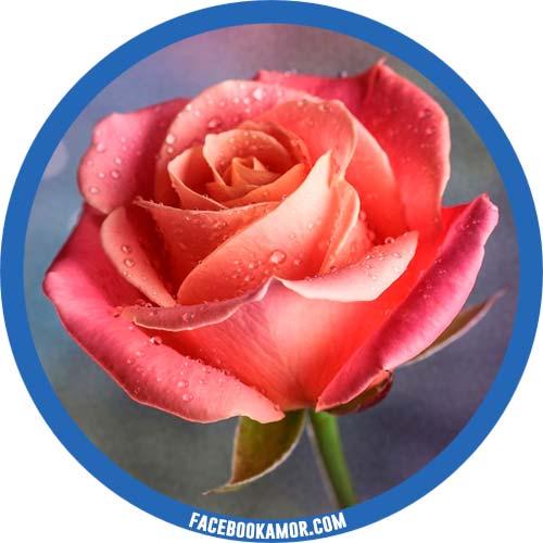 postales de rosa para perfil