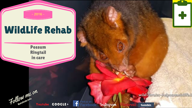 Rehab | Possum | Ring tail in care eating