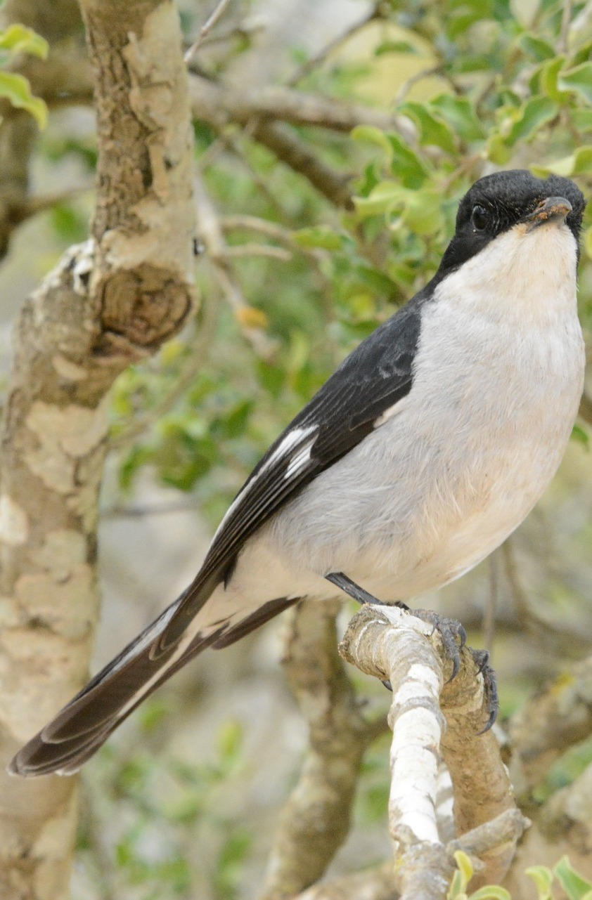 Picture of a butcherbird.