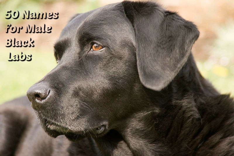 50 Names For Black Lab Male Dogs The