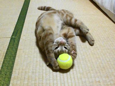 猫がテニスボールで遊ぶ様子です。両手でボールをつかんでいます。