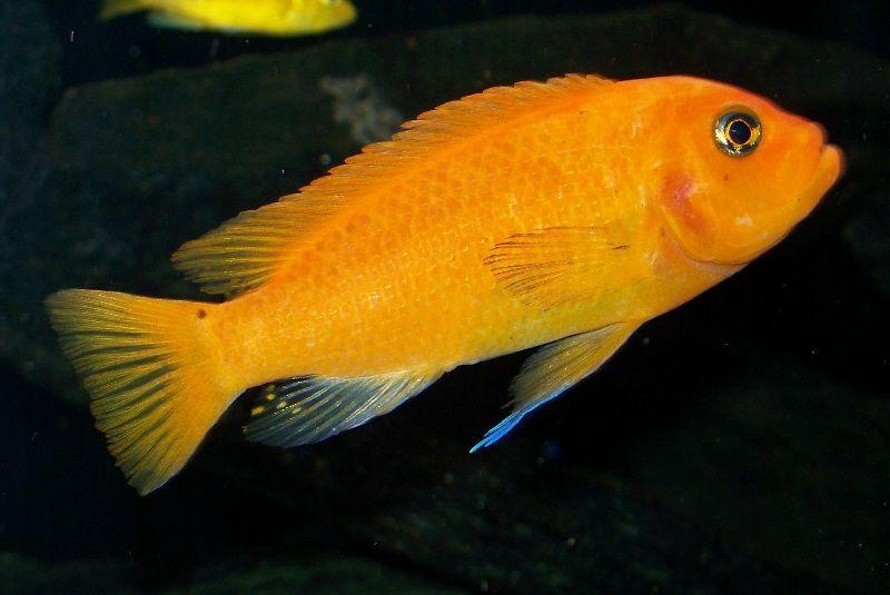Gambar jenis jenis ikan cichlid ( Malawi Cichlids ) - Pola warna minos reef