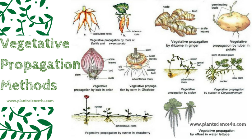 Vegetative Propagation Methods
