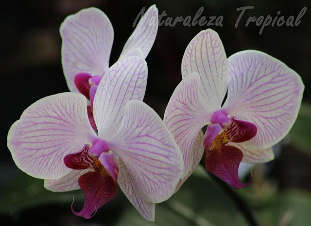 Pétalos y sépalos blancos con pocas líneas rosáceas y labelo púrpura. Orquídea Mariposa (género Phalaenopsis)