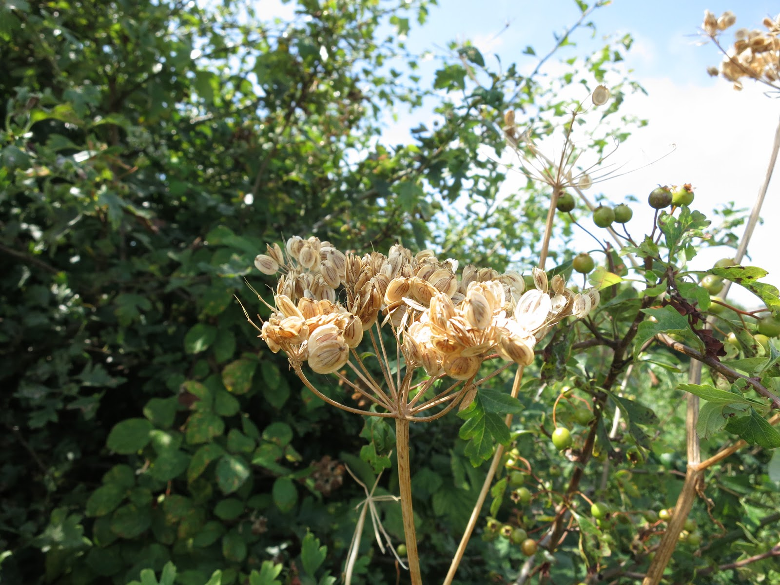 Seeds of an umbelliferous plant in a hedgerow