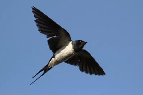 Download Suara Burung Walet Panggil Mp3